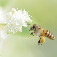 A honey bee hovers near a blossom.