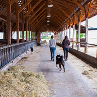 Two girls walk down a covered stanchion area with cows and dogs at Kootenay Meadows dairy.