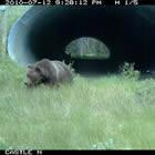 a grizzly bear coming out of a large corrugated steel pipe underpass
