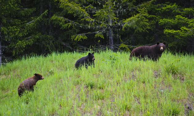 A mother black bear with her two cubs is walking across a meadow with a forest in the background.
