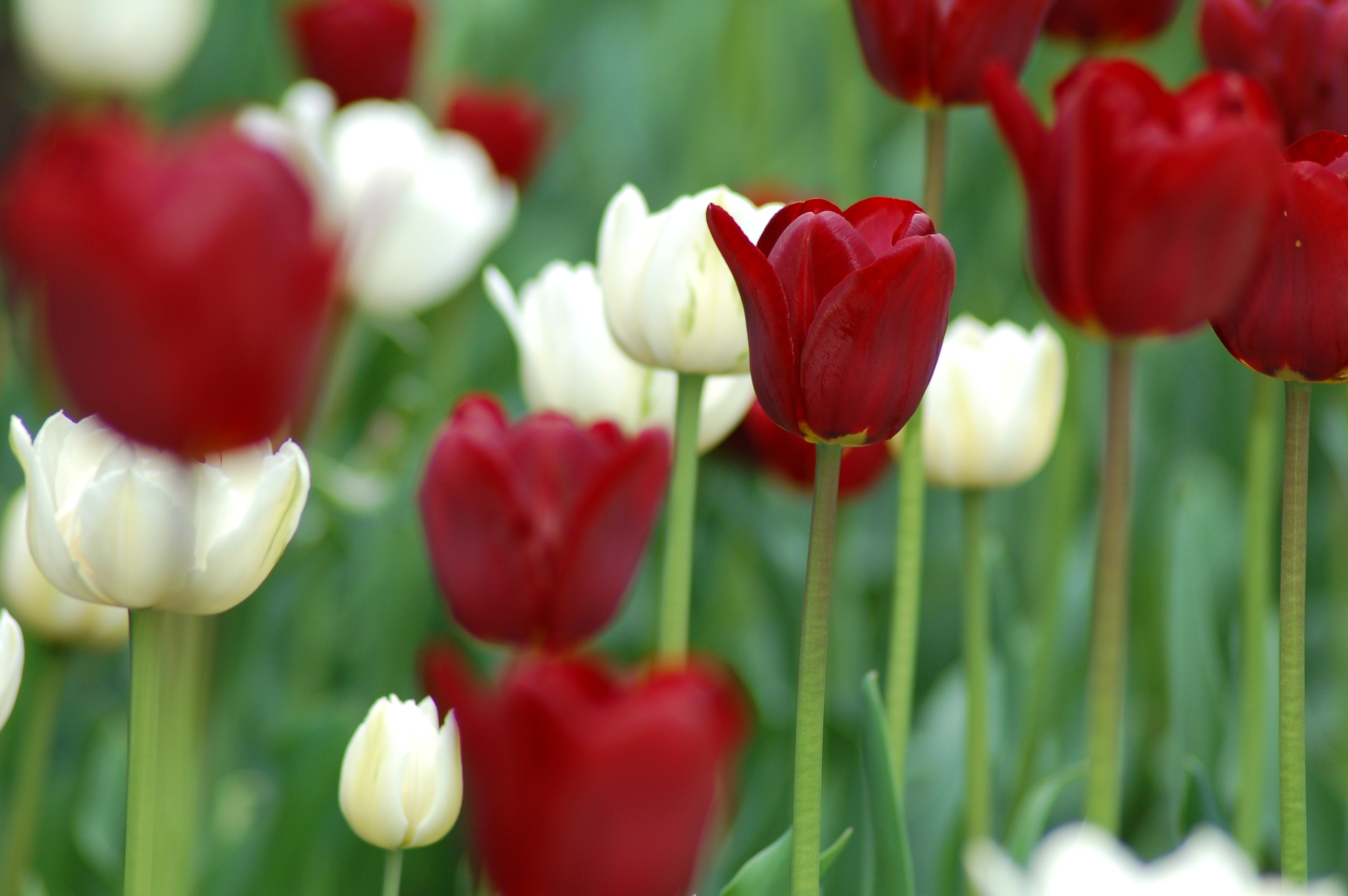 Red and white tulips, pictured here, will bloom in Fernie's EcoGarden this spring.