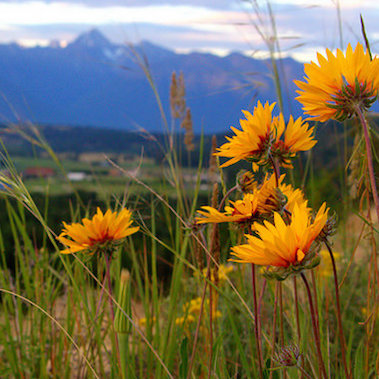 Yellow daisies in the forground, with Mt. Fisher and the steeples slightly blured in the background.