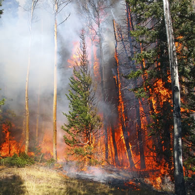 A forest fire raging though a stand of trees.