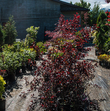 Shrubs and trees in pots are lined up for sale at the Morris Flowers Garden Centre in Creston, B.C.
