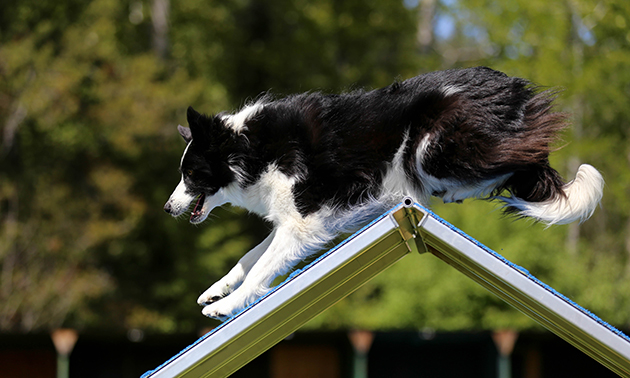 A border collie performing agility.