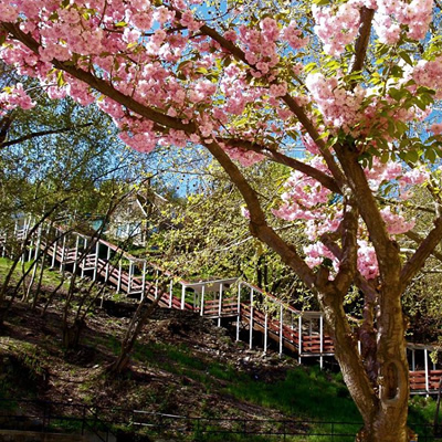 Picture of covered staircases, with pink blossom trees in foreground.