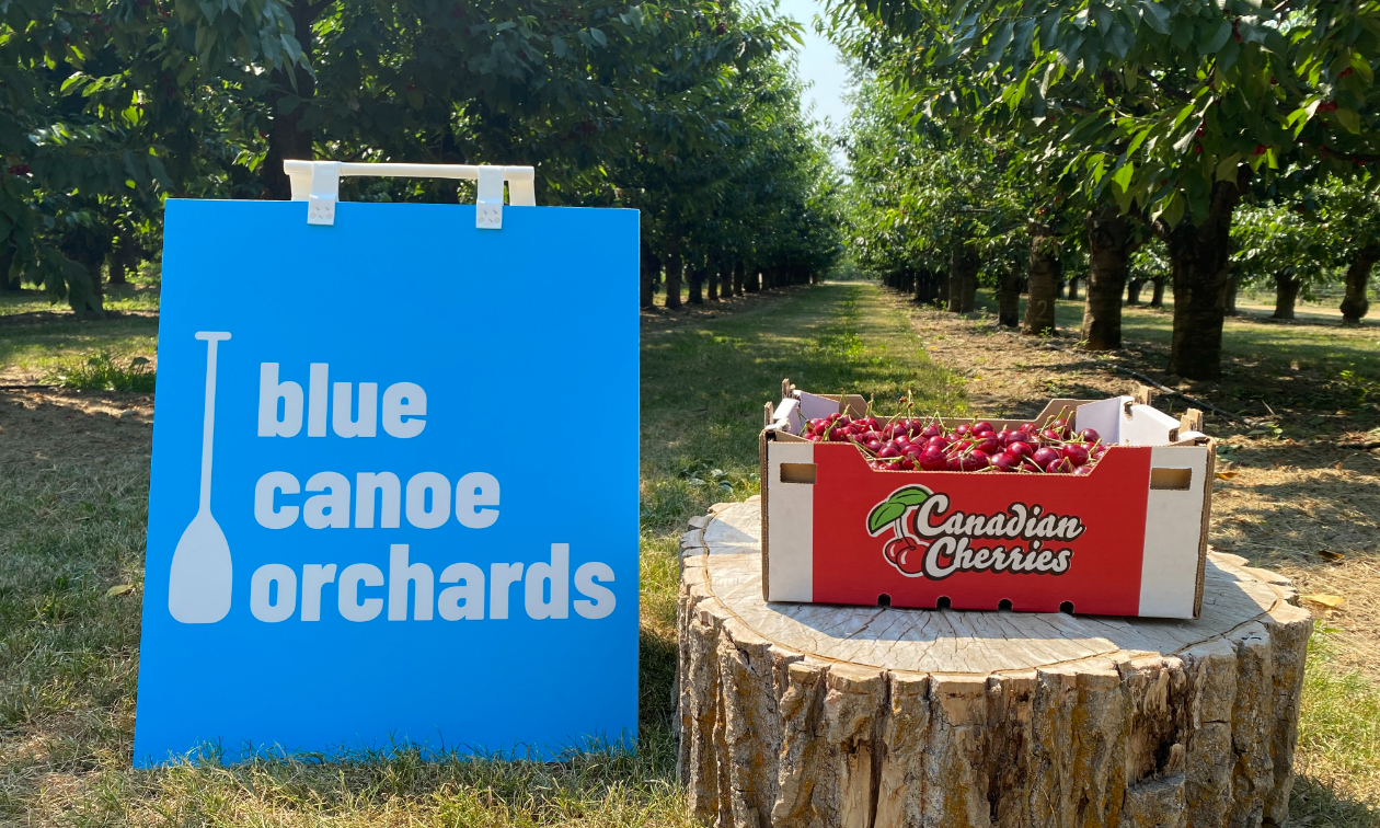 A blue sign that says Blue Canoe Orchards next to a box of cherries on a stump in the midst of a cherry farm.