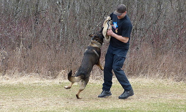 A large German Shepherd demonstrating an attack scenario with an RCMP constable.