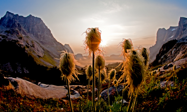 A sunrise photograph of western anemone wildflower seed pods in Mulvey Basin in Valhalla Provincial Park.