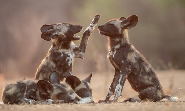 Due to the connection with Painted Dog Conservation, Escape to Africa Safaris focuses on painted dogs.