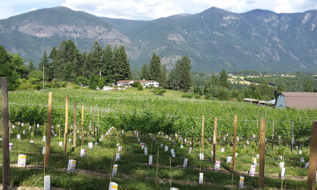 A vineyard sits in a valley amidst huge mountains in the background.