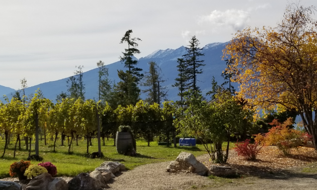 A green vineyard with a mountain in the background.
