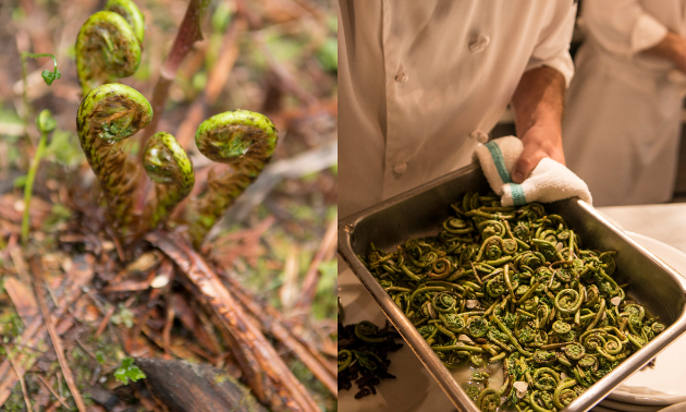 Foods such as fiddleheads are foraged from around Island Lake Lodge and then used in each chef's dish.