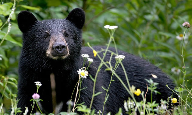 Close-up of black bear with wildflowers in foreground.