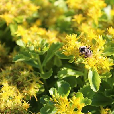 Bee sitting on clump of yellow flowers.