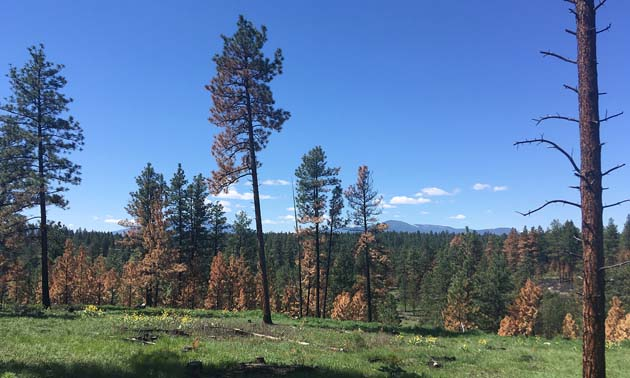 After thinning, 1,300 hectares of overgrown ?aq?am forests should look more like the one in this photo, which was treated in 2018. This project is being supported by Columbia Basin Trust's Ecosystem Enhancement Program.