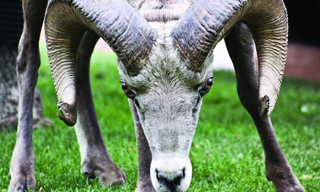 Close-up picture of bighorn sheep.