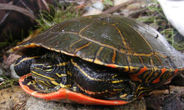 Picture of Western painted turtle.