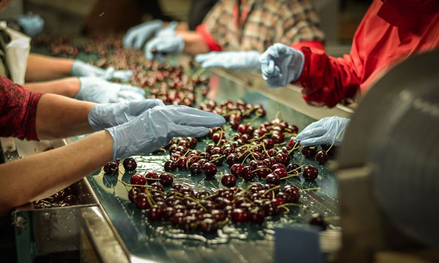 Picture of worker sorting cherries by hand.