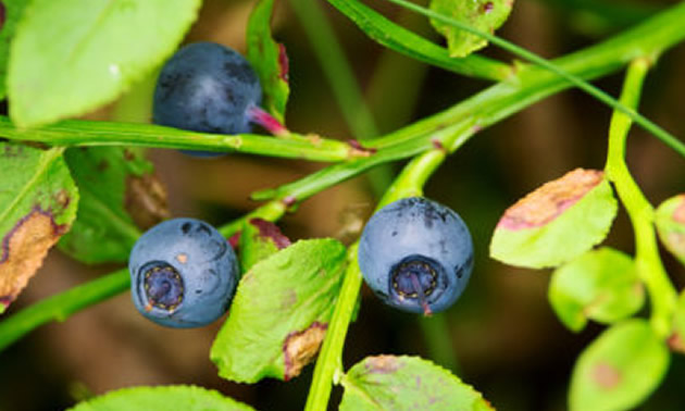 Close-up of huckleberries.