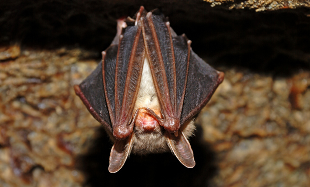 A cute little bat hangs upside down with its wings covering its eyes.