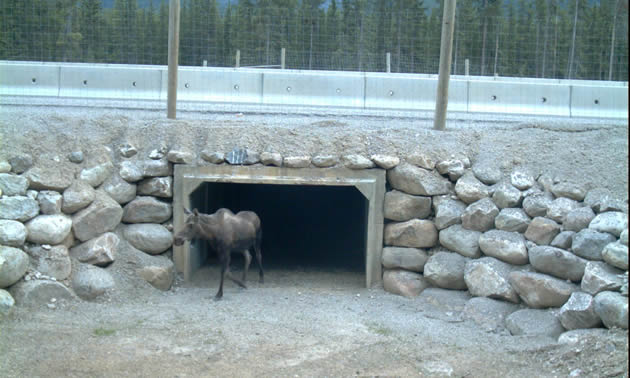 A moose coming out of a pre-cast concrete box underpass underneath a highway