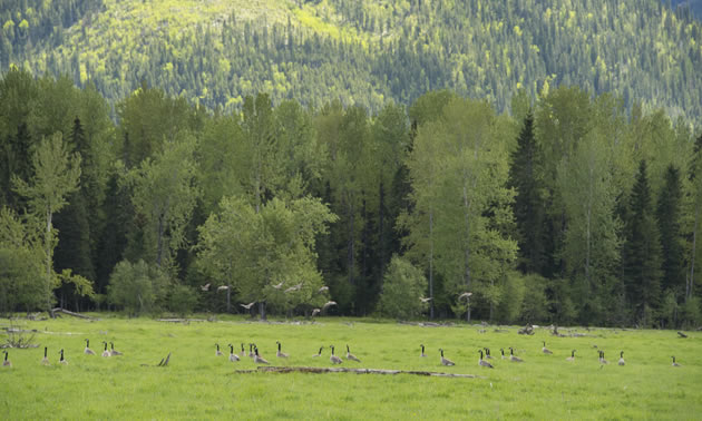 A panoramic picture of the conservation area, with large trees in background and Canada Geese grazing in the fields.