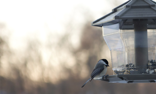 A black-capped chickadee sits on a bird feeder.