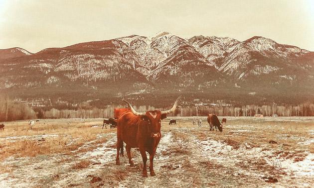 Herd of cattle.