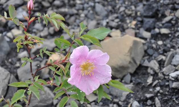 a wild pink rose blooming in rocky soil