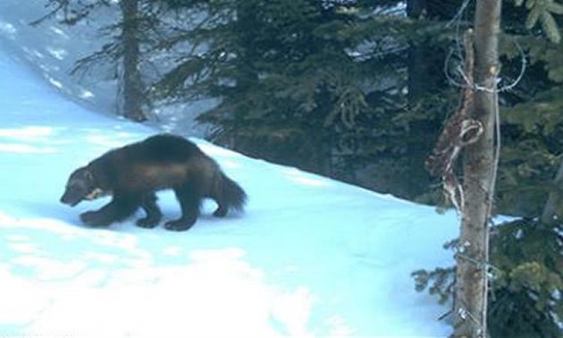 Wolverine walking through snowy forest.
