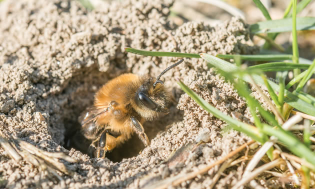 A solitary mining bee is coming out of her hole in the ground.
