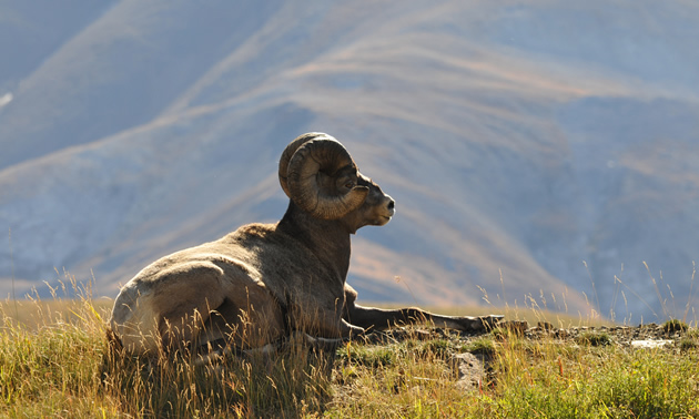 Photo of a Rocky Mountain bighorn sheep relaxing in the sun