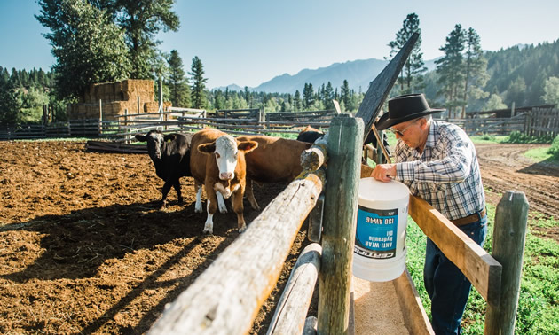 Doug Barraclough filling up a cattle trough while brown and white cows look on.