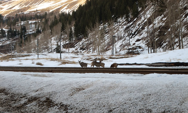 White-tailed deer are standing next to a railroad track.