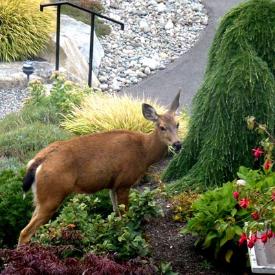 A deer munching through a residential garden.
