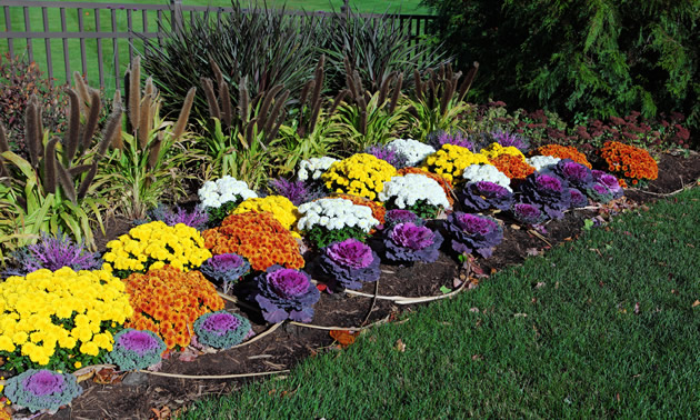 Ornamental kale is in the foreground of a traditional flower garden. The green, purple and pink kale is edible.