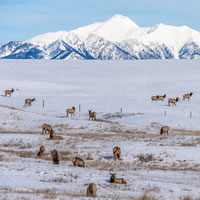 Elk graze in a snow-covered pasture with the Rocky Mountains in the background.