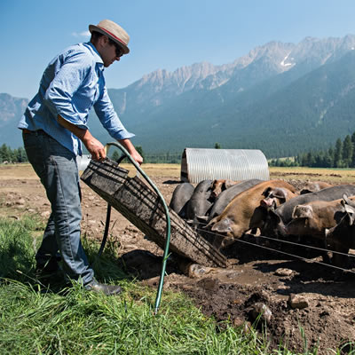 Farmer feeding pigs.