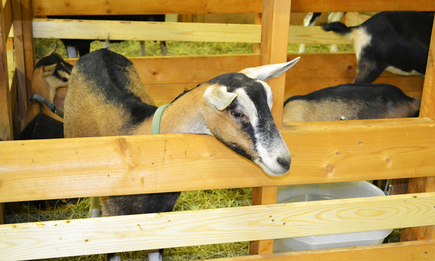 goat at the fall fair
