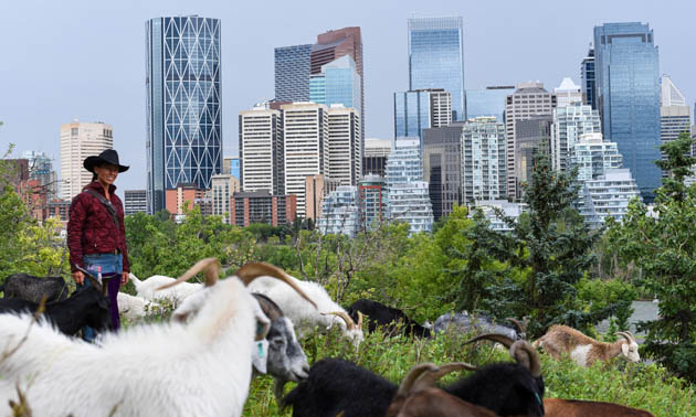 A trip of goats graze in the City of Calgary.