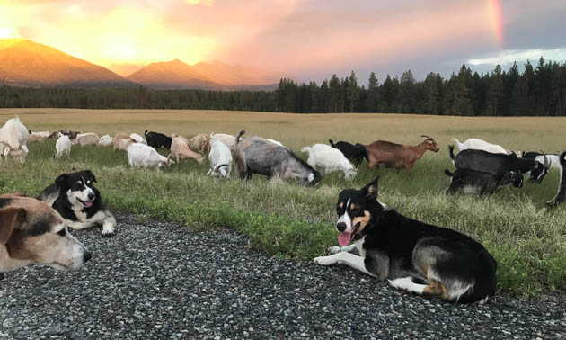 A trip of goats and herding dogs.