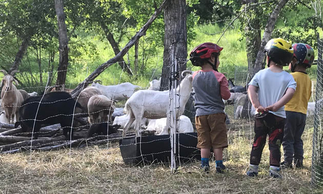 Three little boys standing and watching the goats.