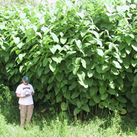 A woman stands beneath a thicket of green knotweed which towers over her.