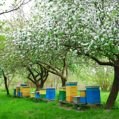 Colourful beehives are lined up underneath blooming apple trees.