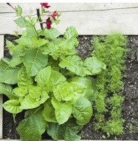 A raised bed gardent with rows of vegetables.