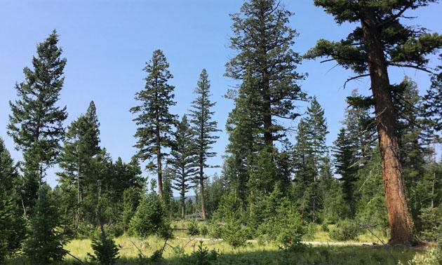 Mixed Douglar-fir forest.