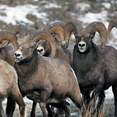 A herd of big-horn sheep are running across a road.