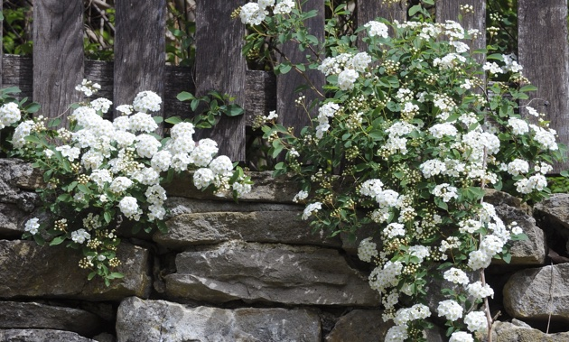 A Spirea shrub hanging over a rock wall.