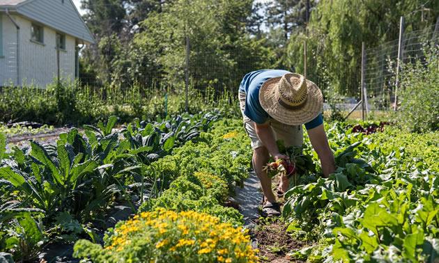 Person weeding garden.
